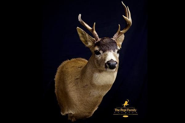 Jonas Brothers Taxidermy Sitka Deer
