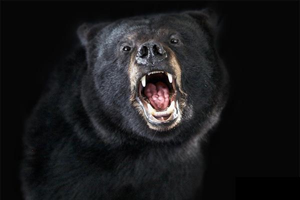 Jonas Brothers Taxidermy Black Bear