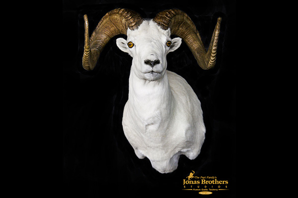 Jonas Brothers Taxidermy Dall Sheep