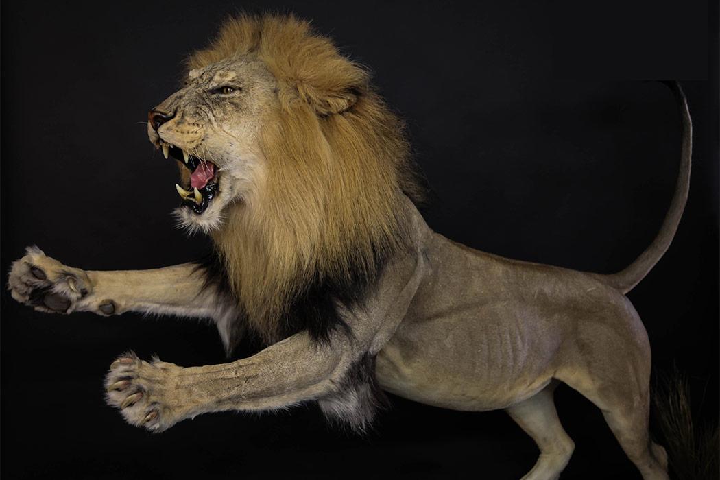 Jonas Brothers Taxidermy Lion