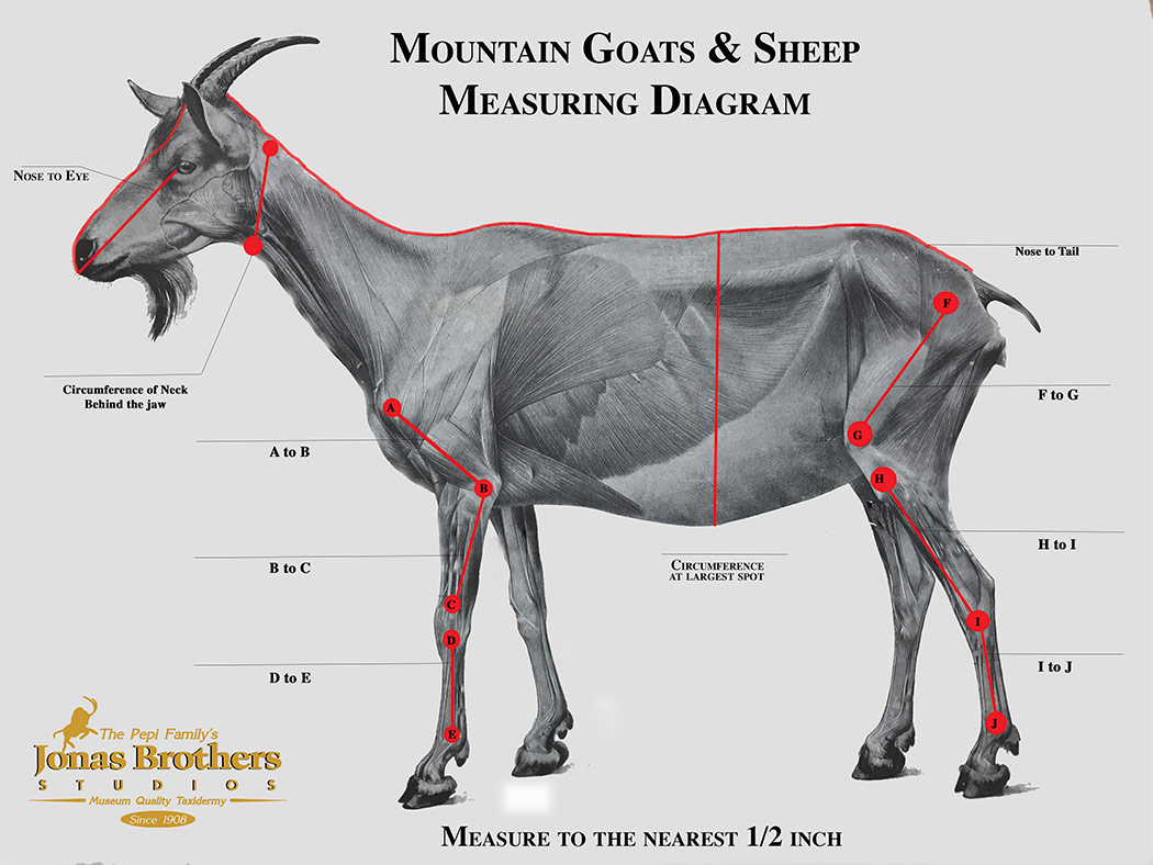 Goat & Sheep Measuring Instructions