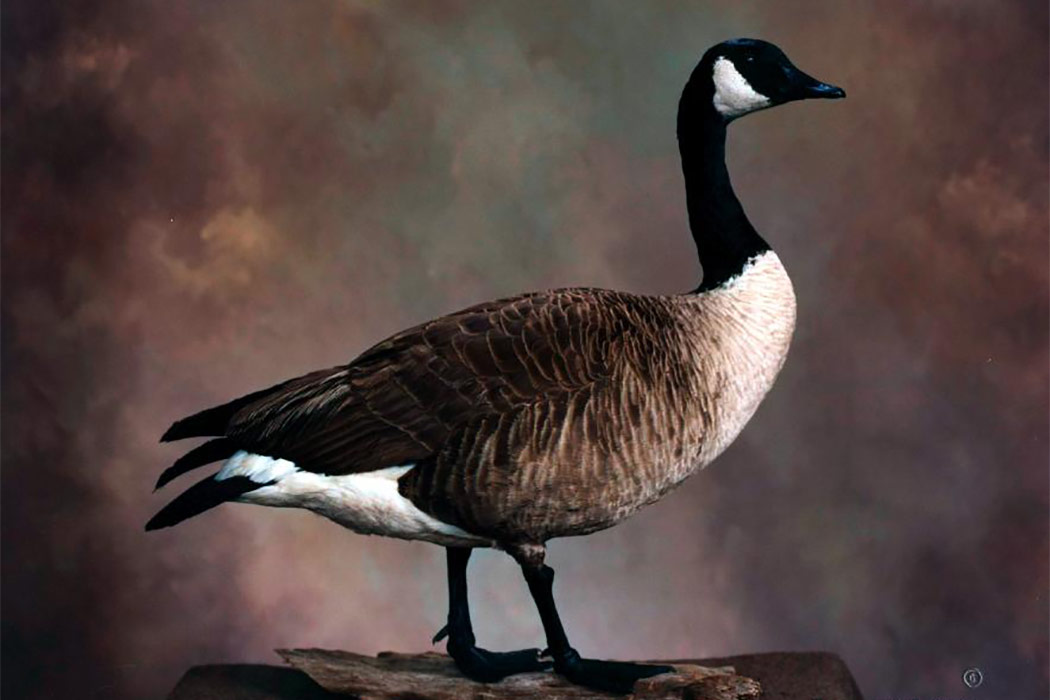Jonas Brothers Taxidermy giant canada goose