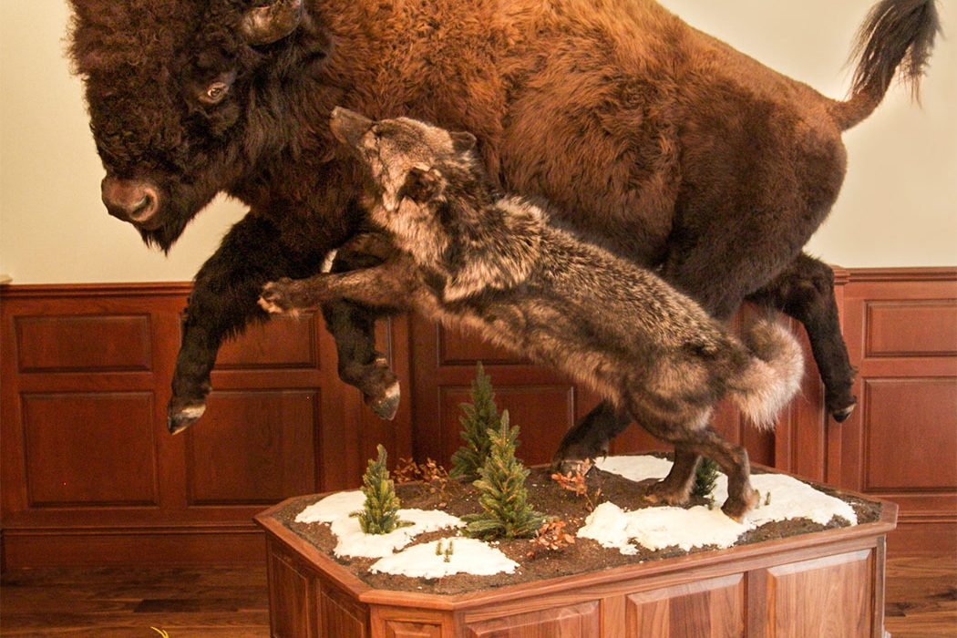 Jonas Brothers Taxidermy Bison with wolf