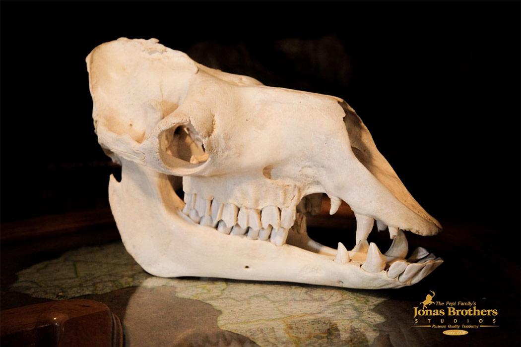 Jonas Brothers Taxidermy Camel Skull