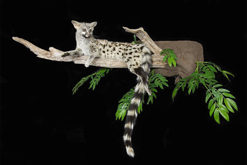 Jonas Brothers Taxidermy Gennet cat diorama