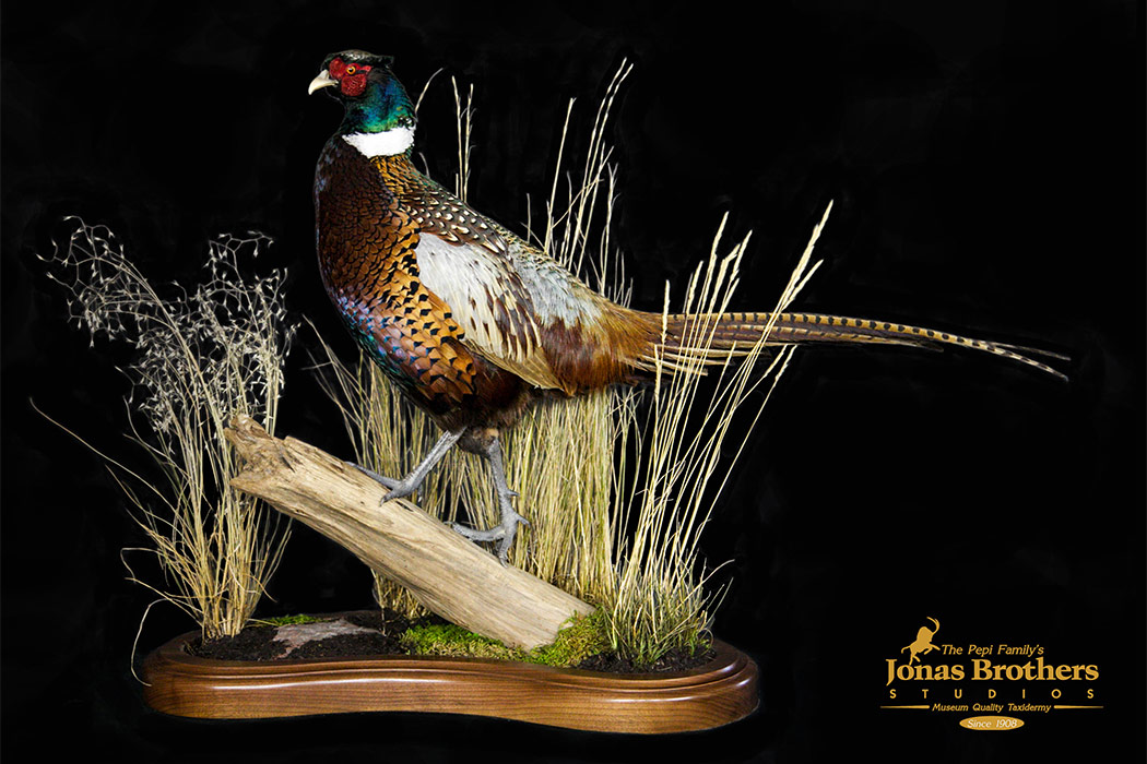 Jonas Brothers Taxidermy pheasant