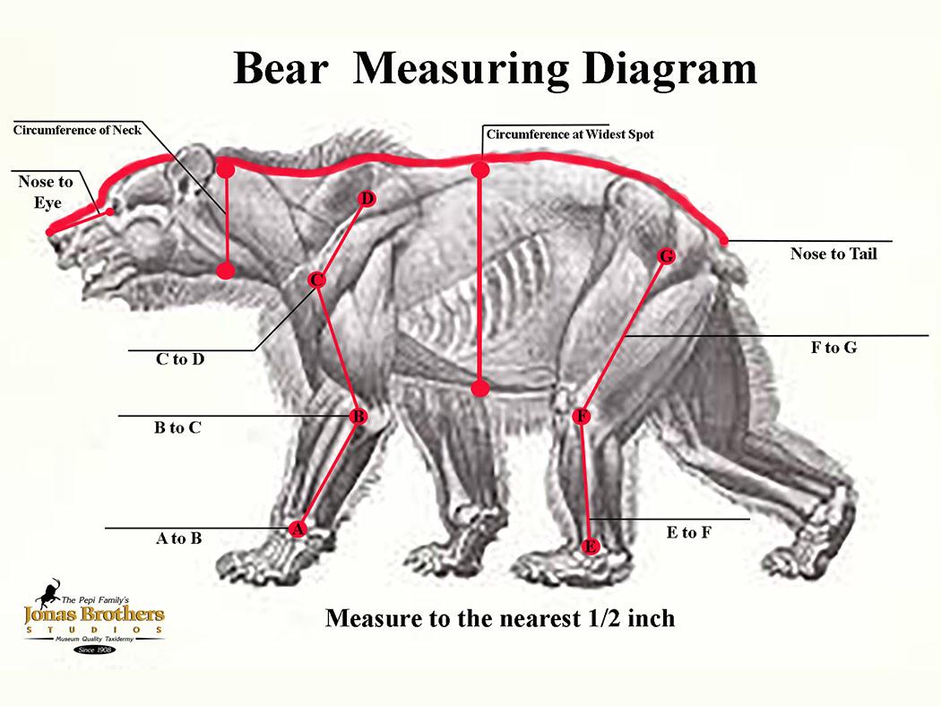 Bear Measuring Instructions