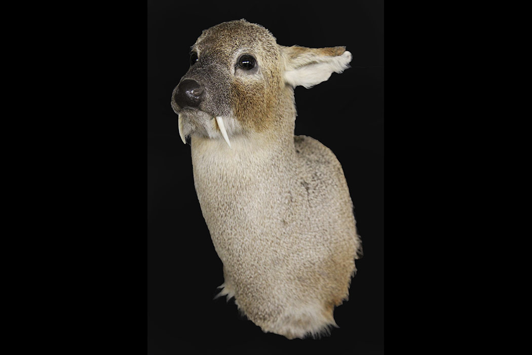 Jonas Brothers Taxidermy Exotic mounts