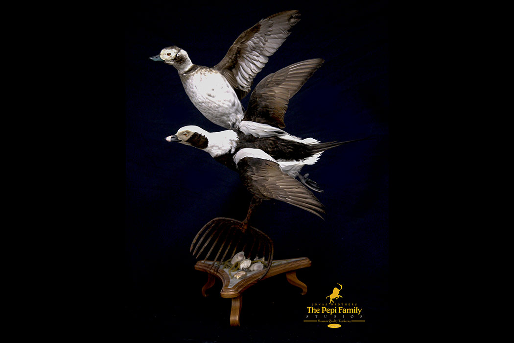 Jonas Brothers Taxidermy flying old squaw