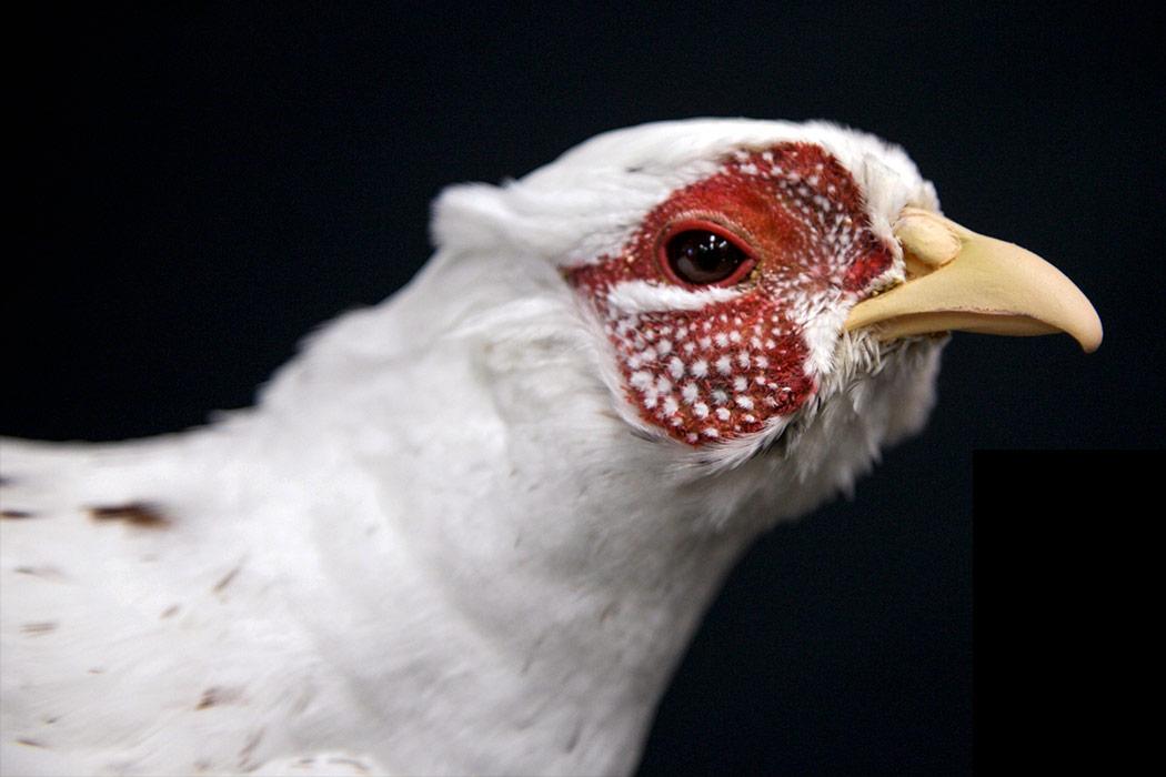 Jonas Brothers Taxidermy white pheasant