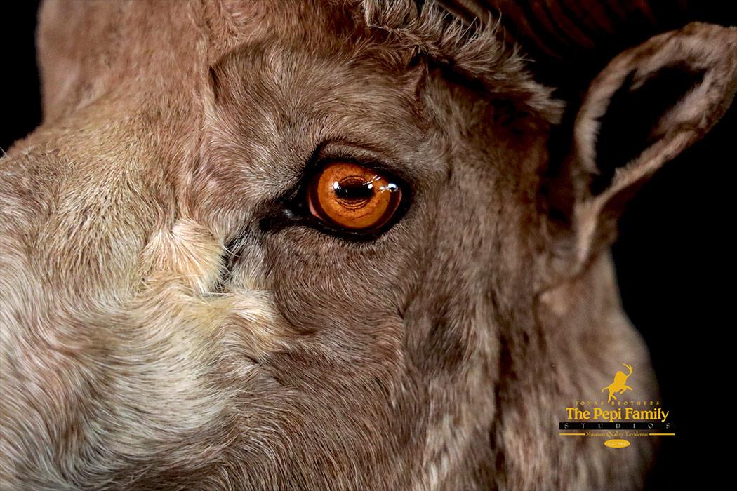 Jonas Brothers Taxidermy close up of Argali eye