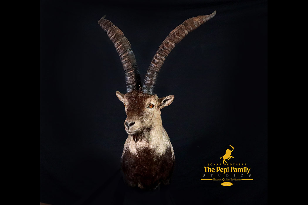 Jonas Brothers Taxidermy Beceite ibex