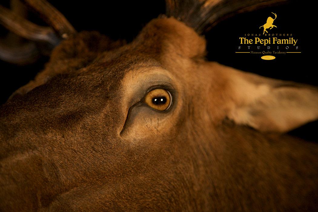 Jonas Brothers Taxidermy elk eye close up