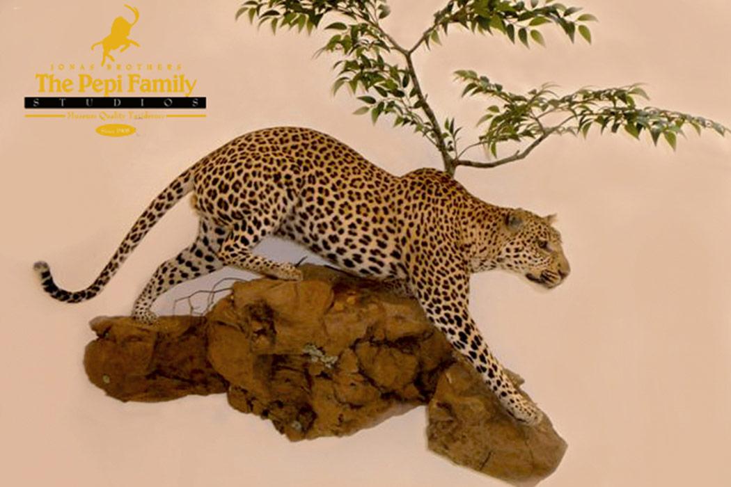Jonas Brothers Taxidermy leopard wall mount
