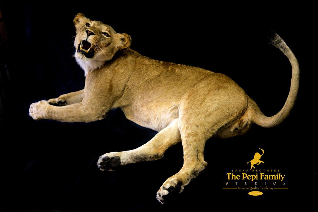 Jonas Brothers Taxidermy lioness