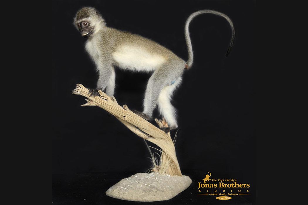 Jonas Brothers Taxidermy vervet monkey