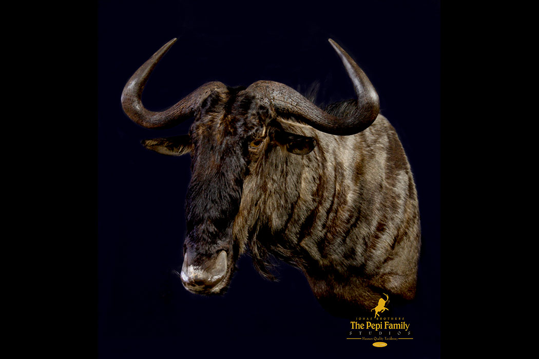 Jonas Brothers Taxidermy blue wildebeest
