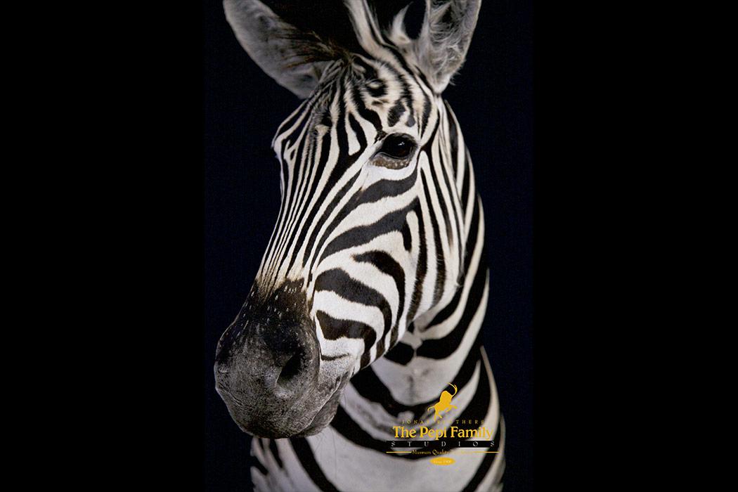 Jonas Brothers Taxidermy zebra